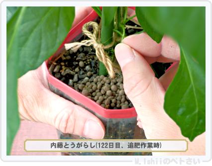 ペトさい(内藤とうがらし)73