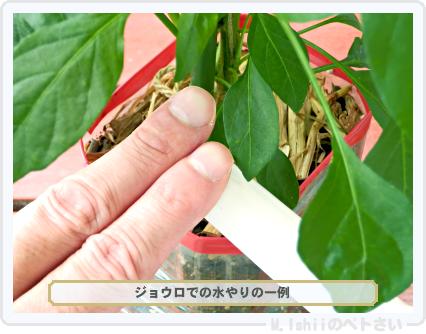 ペトさい(内藤とうがらし)74