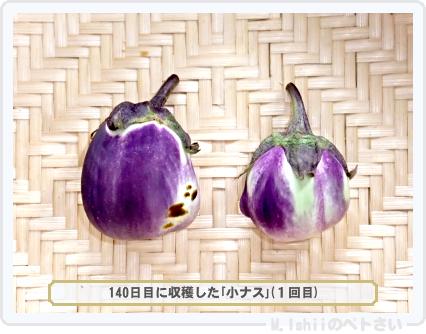 ペトさい(小ナス)40