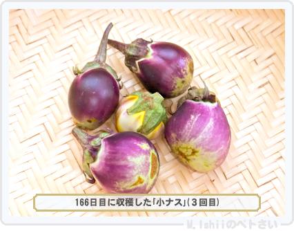 ペトさい(小ナス)48