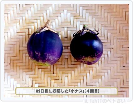 ペトさい(小ナス)55