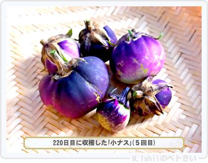 ペトさい(小ナス)58