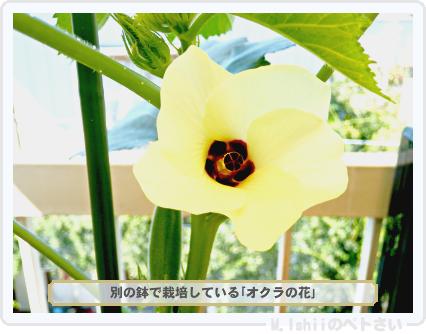 ペトさい(オクラ)56