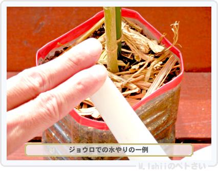ペトさい(オクラ)72