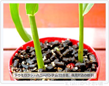 ペトさい(トウモロコシ)19