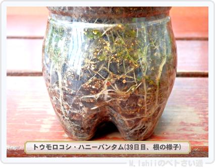 ペトさい(トウモロコシ)29