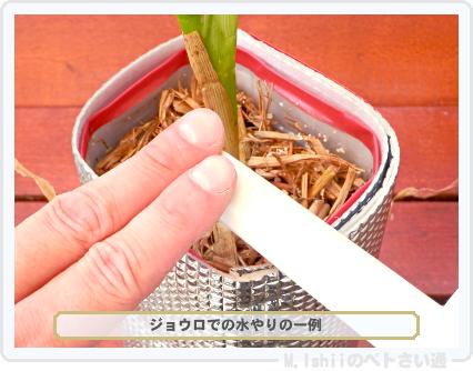 ペトさい(トウモロコシ)50
