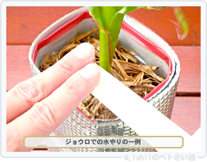 ペトさい(トウモロコシ)60