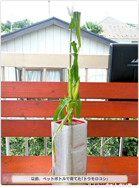 トウモロコシ01