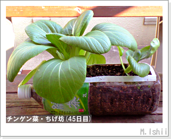 ペット栽培II(チンゲン菜)15