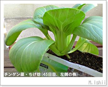 ペット栽培II(チンゲン菜)16