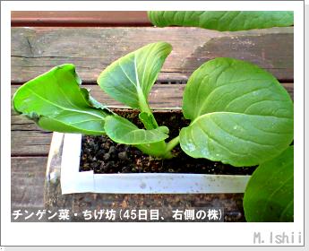 ペット栽培II(チンゲン菜)17