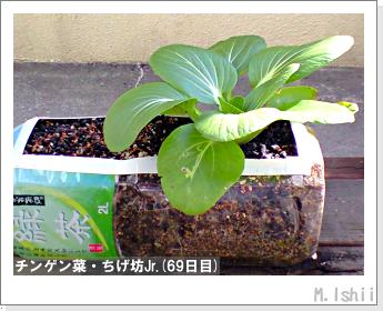 ペット栽培II(チンゲン菜)30