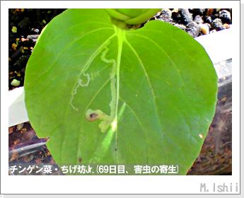ペット栽培II(チンゲン菜)31
