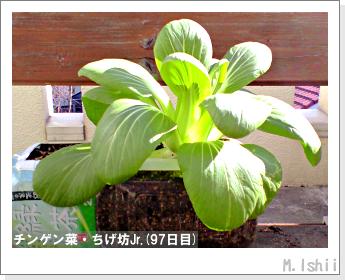 ペット栽培II(チンゲン菜)40
