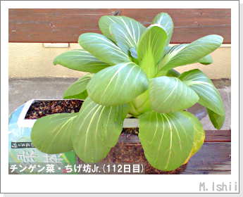 ペット栽培II(チンゲン菜)43