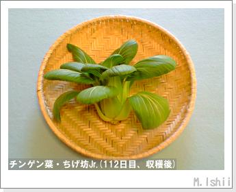 ペット栽培II(チンゲン菜)45