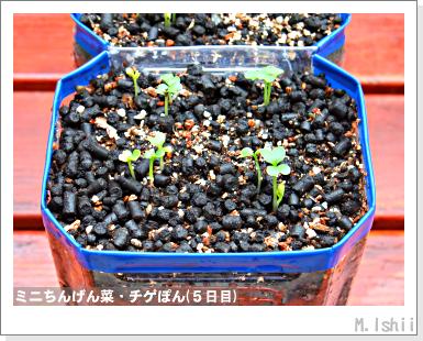 ペット栽培III(ミニちんげん菜)04