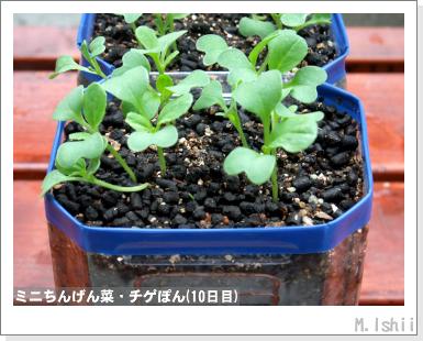 ペット栽培III(ミニちんげん菜)05