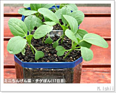 ペット栽培III(ミニちんげん菜)07