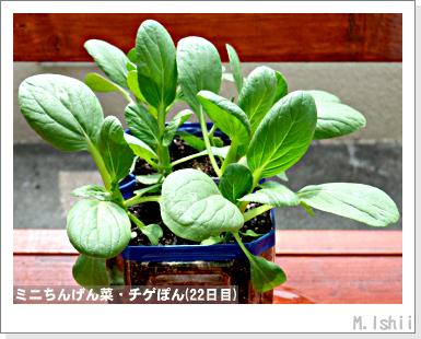 ペット栽培III(ミニちんげん菜)08
