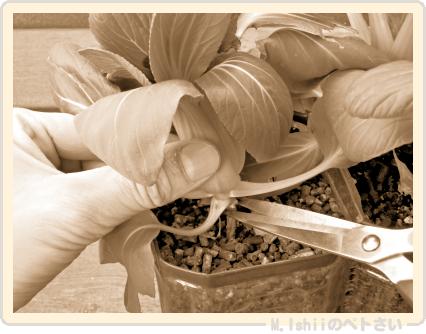 ペトさい(ミニチンゲン菜)25