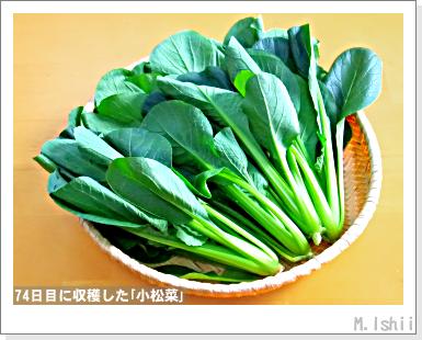 ペット栽培III(小松菜)19