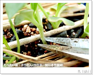 ペット栽培III(たべたい菜)11