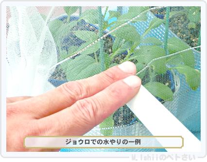ペトさい(たべたい菜)39