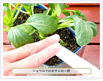 ペトさい(たべたい菜)50