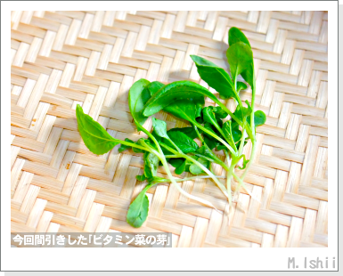 ペット栽培III(ビタミン菜)11