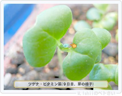 ペトさい(ビタミン菜)13