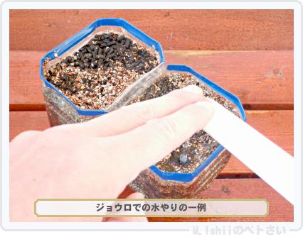 ペトさい(ビタミン菜)14