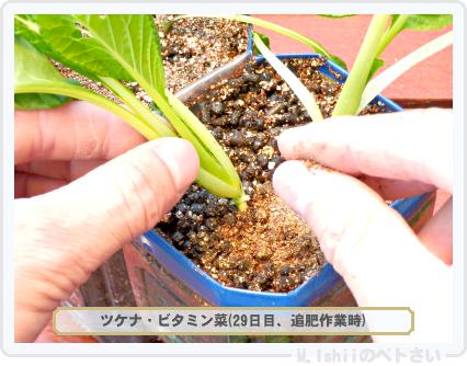 ペトさい(ビタミン菜)24