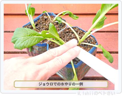 ペトさい(ビタミン菜)26