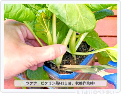 ペトさい(ビタミン菜)30