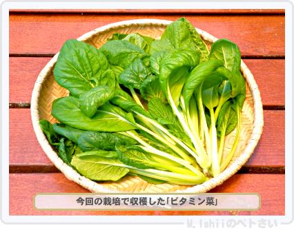 ペトさい(ビタミン菜)31