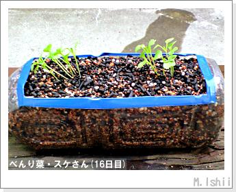 ペット栽培・試験録(べんり菜)12