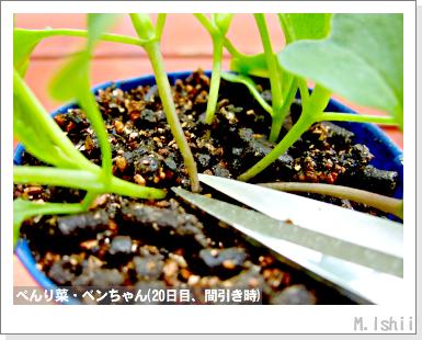 ペット栽培III(べんり菜)12