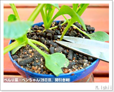 ペット栽培III(べんり菜)15