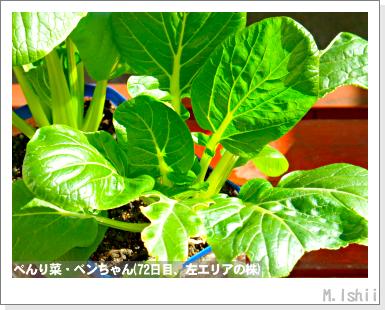 ペット栽培III(べんり菜)25