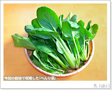 ペット栽培III(べんり菜)30