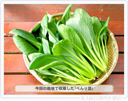 ペトさい(べんり菜)41