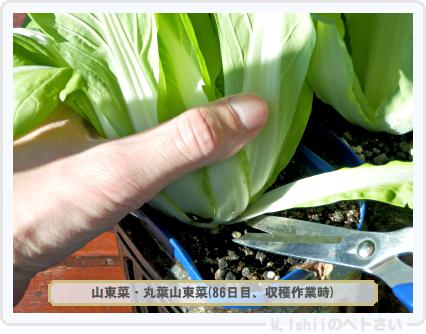 ペトさい(山東菜)26