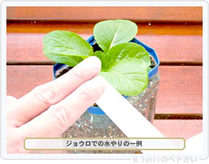 ペトさい(ミニ白菜)29