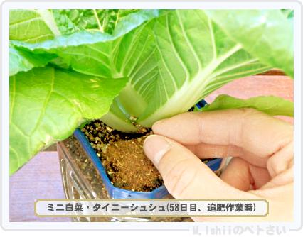 ペトさい(ミニ白菜)35
