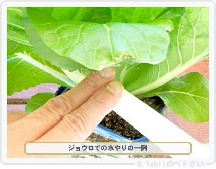 ペトさい(ミニ白菜)36