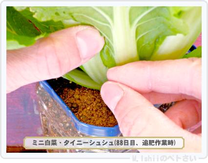 ペトさい(ミニ白菜)42