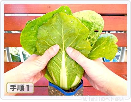 ペトさい(ミニ白菜)47