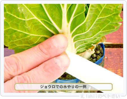ペトさい(ミニ白菜)55